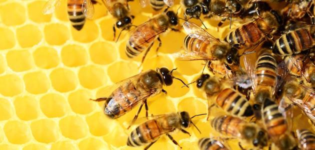 النحل _ العسل